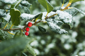 Holly Berries in the Fresh Snow