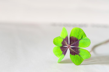 Closeup of four leaf clover as sign for hope
