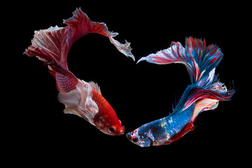 Foto op Plexiglas Vissen The moving moment beautiful of siam betta fish in thailand on black background for love on Valentine's day.