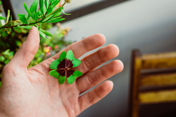 Four leaf lucky clover held by hand