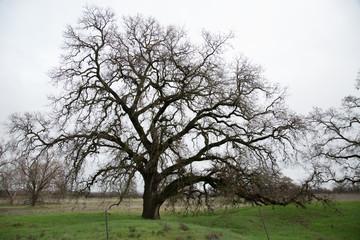 Dormant Old Oak Tree