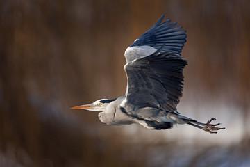 grey heron, ardea cinerea, Czech republic