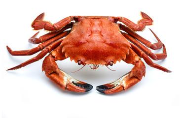 atlantic necora crab isolated