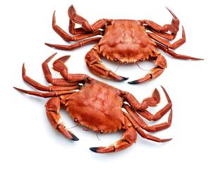 atlantic necora crabs isolated