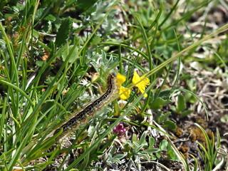 Schmetterlingsraupe in den Alpen