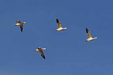 Birds snow geese flying in formation at the Salton Sea