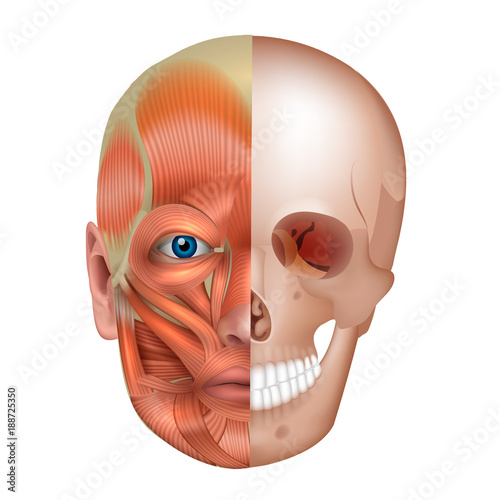Muscles And Bones Of The Face Detailed Bright Anatomy Isolated On A