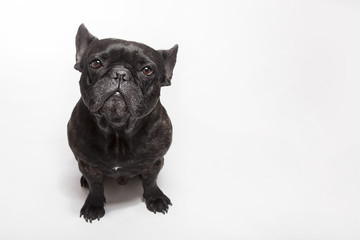 Funny studio portrait of the dog black french bulldog isolated on the white background