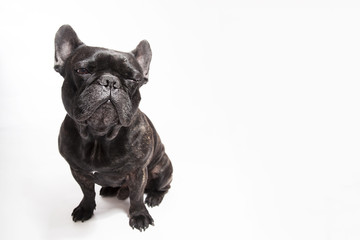 Funny studio portrait of the dog black french bulldog gving a blink isolated on the white background