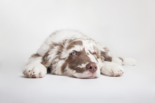 The puppy of Australian Shepherd is lying and blinking