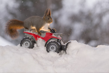 Red squirrel with Quadbike and snowplough