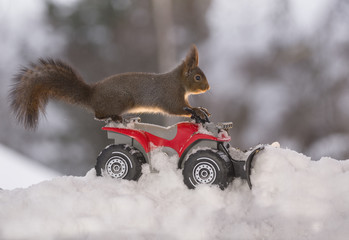 Red squirrel on Quadbike with snowplough