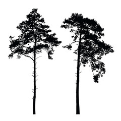Set of vector silhouettes of high coniferous trees