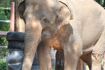 Female Asian Elephant