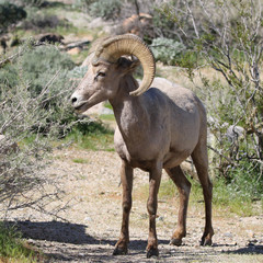 Desert Bighorn Sheep - Ovis canadensis nelsoni