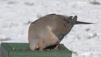Fotoväggar - Mourning Dove (Zenaida macroura) on a feeder in snow in winter