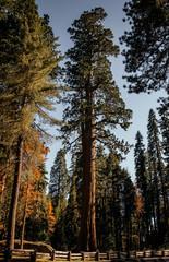 Poster de jardin Parc Naturel Giant sequoias in the Sequoia National Park, California, USA. US Natural Parks
