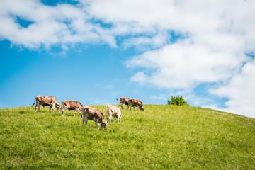 Landwirtschaft in den Bergen - Jungbullen grasen auf einem Hügel