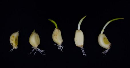 Garlic growth with little leaf black background