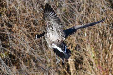 Canada Geese Landing in the Wetlands