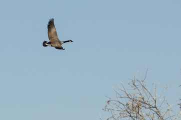 Lone Canada Goose Flying Over the Wetlands