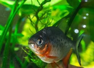 the pacu (piranhas)