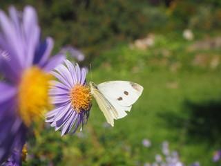 Schmetterling entspannt an einer Blume....