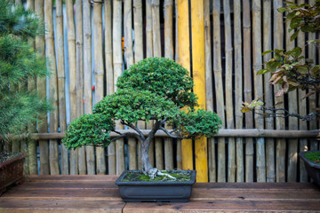 Beautiful little pine bonsai tree in clay pot on wooden surface