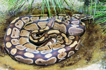 Two python snakes crawled together in a water pond