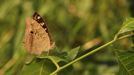Brown butterfly in public park