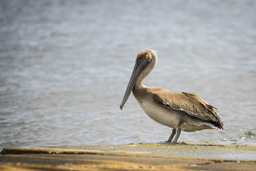 Pelican Isolated on the Shore