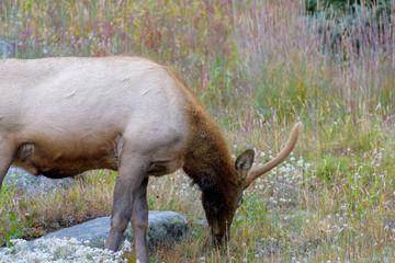 Elk browsing on wildflowers