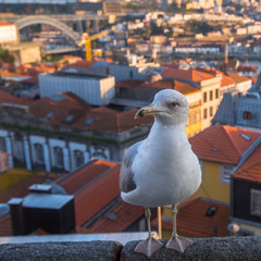 Seagull sitting on a background of Porto downtown, Portugal.