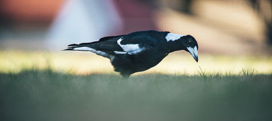 Australian magpie outside during the day time.
