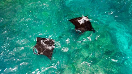Aerial view of Manta rays swimming