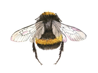 Hand drawn watercolor painting bee on white background