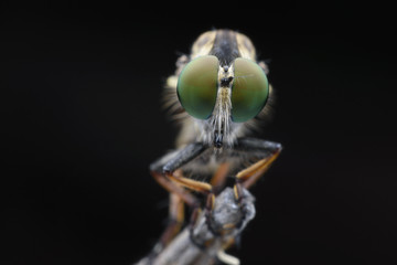 Super macro Robber fly perching on treetop