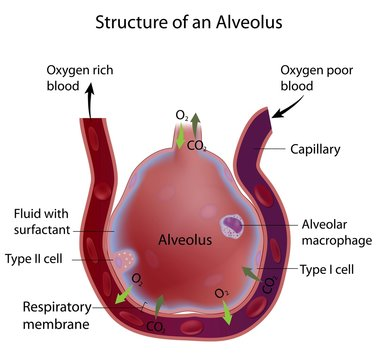 Structure of an alveolus