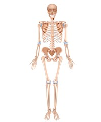 Human skeleton, accurate anatomy