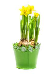 Narzisse im Blumentopf isoliert