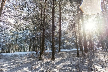 snow forest conifer trees landscape with sunshine light