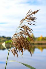 Reed at lake.
