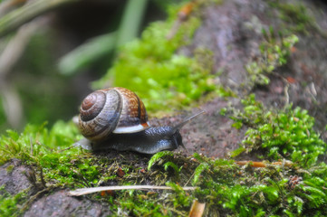 Snail in the moss in the deep forest. Curious black snail crawling on moss in dark forest