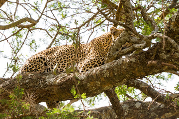 The leopard (Panthera pardus),  species in the genus Panthera, a member of the Felidae in a tree in Serengeti ecosystem, Tanzania, Africa