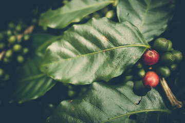 red and green cherry coffee bean with coffee tree in northern part of thailand, dark tone