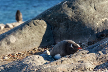 Lonely gentoo penguin sunbathing on the stones, Cuverville Island, Antarctic