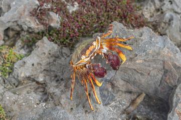 Sea Crab close-up