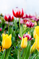 Various colorful Tulips