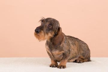 female portrait of brown dog dachshund