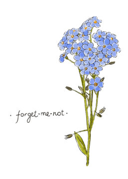 Wild flower forget-me-not hand drawn in color. Herbal vector illustration.